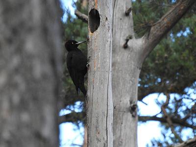 Hembra de pito negro fotografiada en marzo de 2019 en el Parque Natural de Penyagolosa (Castellón). Foto: Javier Barona.