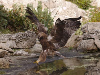 Águila calzada de morfo oscuro acudiendo a su baño diario (foto: Joan Cesari).