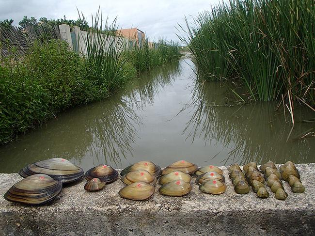De izquierda a derecha, ejemplares de Anodonta anatina, Potomida littoralis, Unio mancus y Corbicula fluminea capturados en el Marjal de la Safor (Valencia). Las tres primeras son especies autóctonas, mientras que la cuarta es un bivalvo exótico procedente de Asia (foto: autores).