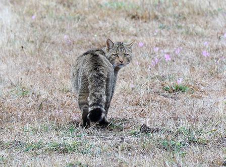 Retos para la conservación del gato montés en Andalucía