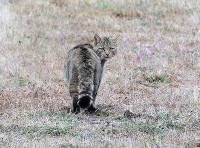Gato montés en su hábitat natural (foto: Francisco J. Contreras).