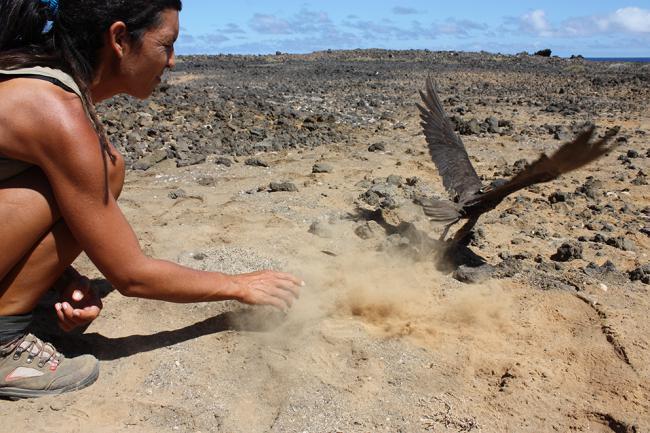 Liberación de un macho adulto de halcón de Eleonor marcado con un GPS-Datalogger en el islote de Alegranza (Canarias). Foto: Manuel de la Riva.