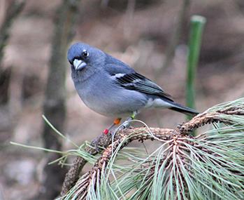 Macho de pinzón azul de Gran Canaria liberado en el medio natural tras ser criado en cautividad (foto: Alejandro Delgado).