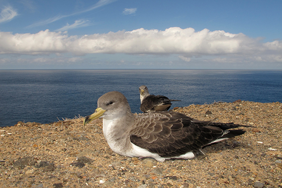 Pollos de pardela cenicienta afectados por la contaminación lumínica en Tenerife, en el momento de su liberación (foto: Beneharo Rodríguez).