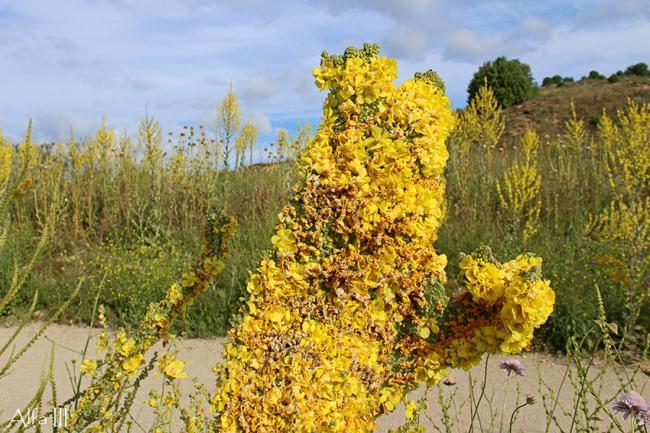 Gordolobo (Verbascum pulverulentum) de llamativo aspecto encontrado en la localidad madrileña de Guadalix de la Sierra (foto: Ángel Alfageme).