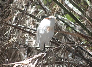 Una garcilla bueyera descansa posada en una palmera de la colonia de cría de la especie existente en Arrecife (Lanzarote). Foto: Pablo Gustems.