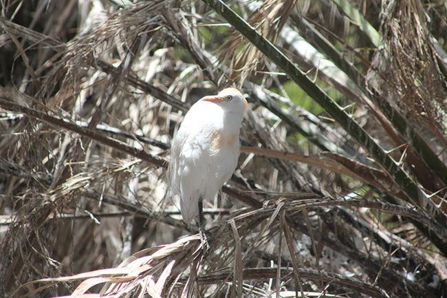 Garcilla bueyera: amenaza a la biodiversidad de Lanzarote
