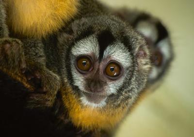 El nombre científico del mono miriquiná (Aotus azarae), un primate neotropical de hábitos nocturnos, está dedicado a Félix de Azara (foto: Nourdine Saad / 123RF).