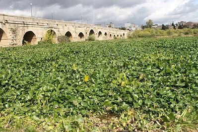 Tramo del río Guadiana junto al Puente Romano de Mérida (Badajoz) completamente invadido por el camalote en 2012