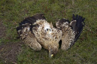 Ejemplar joven de águila imperial marcado con un emisor y hallado muerto por veneno en 2016 en el término municipal de Reina (Badajoz). Foto: Roberto Sánchez Mateos.