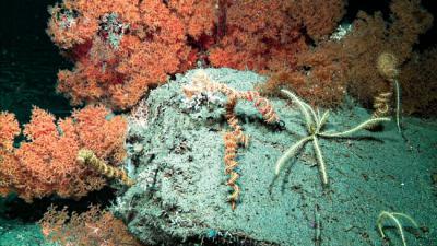 Fondos marinos del Cantábrico a más de 1.000 metros de profundidad donde habitan las esponjas carnívoras y sus gusanos simbiontes (foto: J. Cristobo).