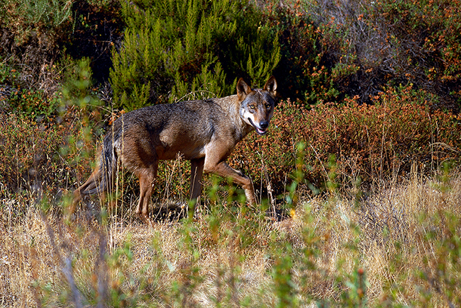 Un lobo ibérico con pelaje de verano camina por una zona de monte mediterráneo. La fotografía está hecha en el hábitat natural del lobo en el noroeste ibérico.