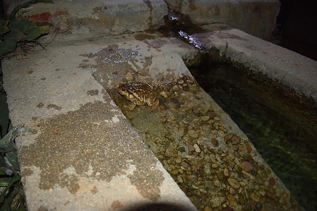 Rampa construida para facilitar el acceso de anfibios en Fuente María (Valdelaguna, Madrid), donde actualmente se reproducen el sapo corredor, el sapo partero común y el sapo común ibérico (en la foto).