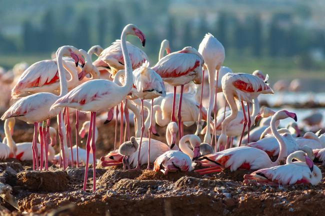 Colonia de flamencos establecida en el centro de la laguna de Torrevieja. Puede apreciarse la presencia de algún pollo aún pequeño (foto: F. Kenzelmann).