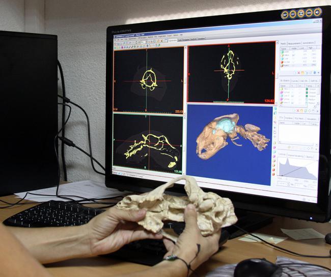 La Tomografía Computarizada (TC) permite visualizar el interior de los cráneos fósiles y comparar su anatomía con la de especies actuales (foto: Manuel J. Salesa).