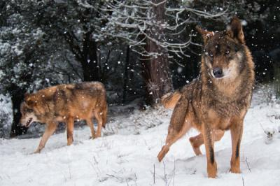Los lobos no son nocturnos por elección propia, sino porque así rehúyen mejor la persecución (foto: Ramón Carretero / Shutterstock).