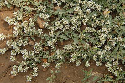 Coronopus navasii es un raro endemismo ibérico en peligro de extinción. Su única población aragonesa fue descubierta en agosto de 2014.