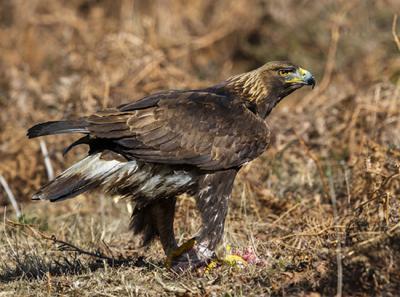 Inmaduro de águila real con una presa en las garras
