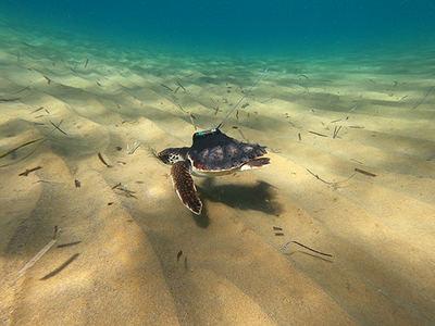 Una de las tortugas marcadas por ANSE, seguramente Argonauta, el día de su liberación en Calblanque (Murcia) el 5 de octubre de 2020.