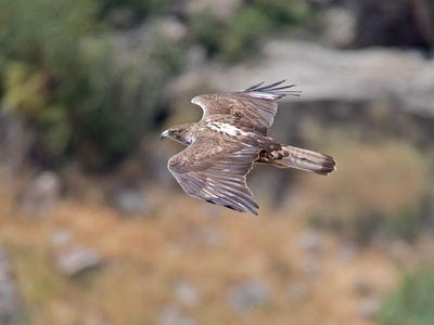 Águila perdicera en vuelo (foto: Artemy Voikhansky / Wikicommons).