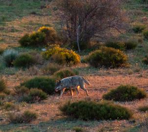 Lobo fotografiado en mayo de 2014 en el Valle del Lozoya. Posiblemente se trataba de una hembra preñada (foto: autores del artículo).