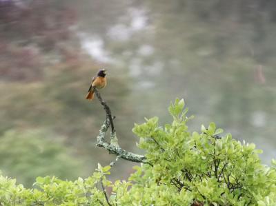 Un ejemplar de colirrojo real imita a más de cincuenta especies de aves