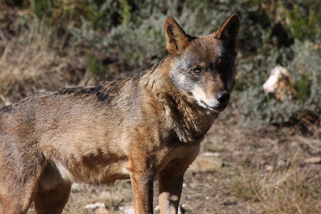 Primer plano de un lobo. Este ejemplar pertenece al grupo que se conserva en el Centro del Lobo Ibérico situado en Robledo de Sanabria (Zamora).