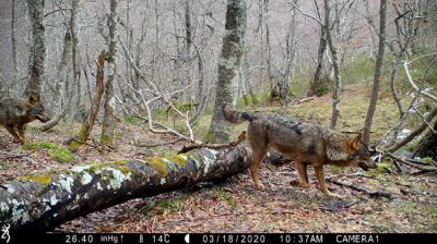 Imagen de fototrampeo de dos lobos en libertad en un bosque de la Cordillera Cantábrica (foto cedida por César Ortiz y Íñigo Bregel).