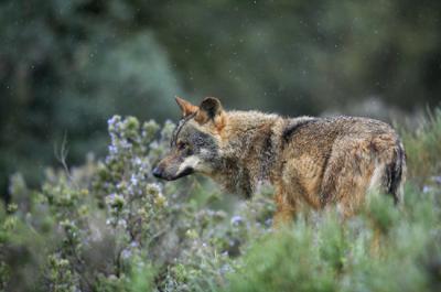 Lobo ibérico fotografiado en condiciones controladas (foto: José Benito Ruiz Limiñana).