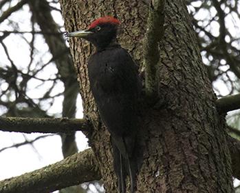 Macho de pito negro localizado en un pinar durante el trabajo de campo (foto: Aitor Galarza).