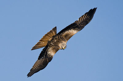 Milano real en vuelo. Las poblaciones reproductoras de esta especie en el sur de España sufren un preocupante declive (foto: Pepe Elías).