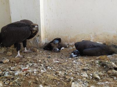 El pollo de buitre negro intervenido, en el centro, comparte instalación con otros ejemplares de su misma especie en el centro de recuperación de fauna de Amus (foto: Amus).