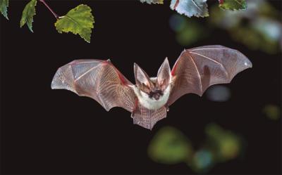 Murciélago del género Plecotus mientras caza en un hábitat forestal (foto: Rudmer Zwerver / Shutterstock).