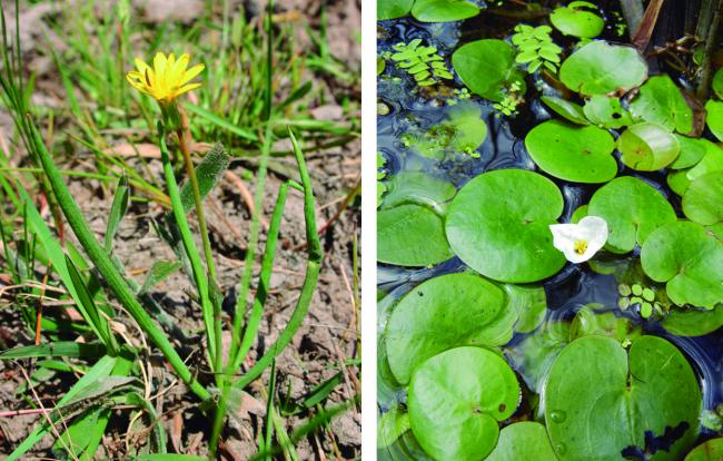 La chicoria hueca (a la izquierda) pertenece a un género endémico ibérico, que sólo se mantiene en Doñana (foto: Pablo García Murillo). Los corazones de agua (a la derecha) sobreviven críticamente en dos poblaciones, una en Doñana y otra en Galicia (foto: Moisès Guardiola).