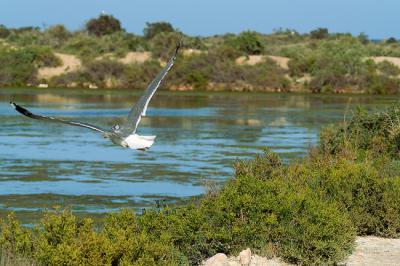 Una gaviota patiamarilla equipada con un dispositivo GPS/GSM en la espalda sobrevuela las Salinas de San Pedro del Pinatar, en la Región de Murcia (foto: Antonio Zamora).