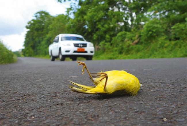 Reinita de manglar de Galápagos atropellada en la carretera de la Isla de Santa Cruz, en Galápagos (foto: Antonio Román Muñoz).