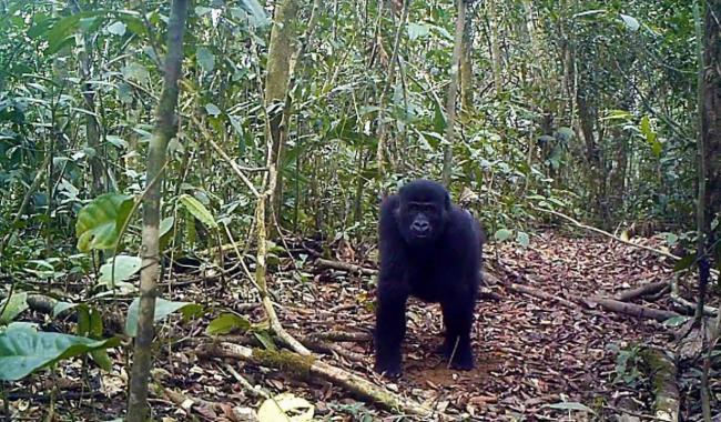 Ejemplar joven de gorila en una imagen de fototrampeo en el Bosque de Ebo (foto por cortesía de San Diego Zoo Global).