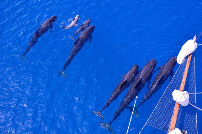 Grupo de calderones con sus crías en la proa del velero de investigación de ANSE, la goleta Else. Foto: P. García / ANSE