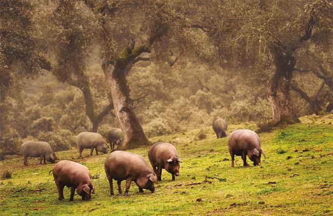 Cerdos ibéricos comen bellotas en una dehesa de encinas (foto: José Arcos / Shutterstock).
