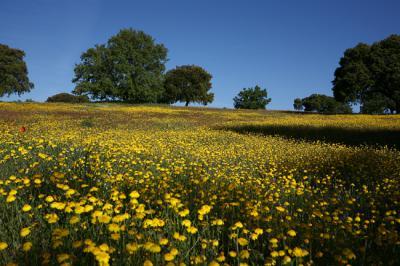 Paisaje adehesado en Campo de Azaba (Salamanca), en el ámbito del Oeste Ibérico.