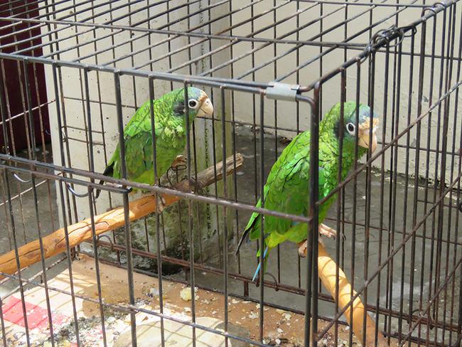 Dos cotorras de La Española enjauladas para ser mantenidas como mascotas (foto: Álvaro Luna).