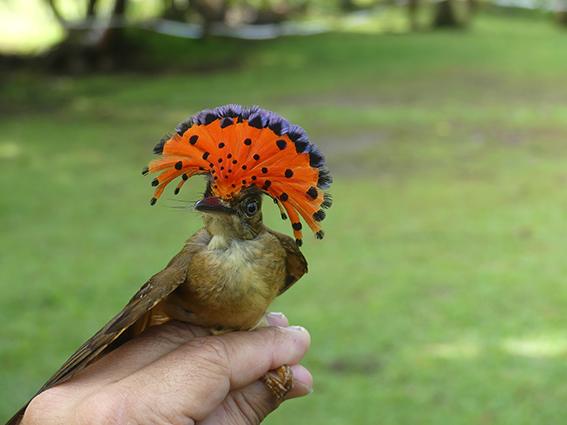 El mosquero real (Onychorhynchus coronatus) es un habitante de pequeños claros y riberas de arroyos en bosque cerrado. Un ejemplar de esta especie fue capturado en una zona ajardinada de la Reserva Pacuare (Costa Rica) durante el estudio (foto: Mario Díaz).
