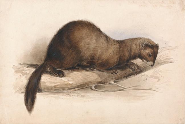 Hembra de turón. Lámina de Edward Lear (1812-1888).