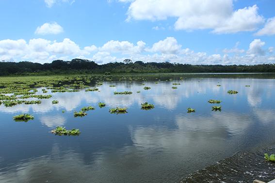 Panorámica de la laguna de Limoncocha, en la Amazonía ecuatoriana. Arriba, avetrigre colorada o garza tigre (Tigrisoma lineatum) observada durante una jornada de seguimiento de aves acuáticas en este humedal (fotos: Juan Neira).