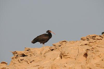 """Un ibis eremita en un acantilado de la Reserva """"Costa de las focas"""", fotografiado el pasado 3 de febrero"""