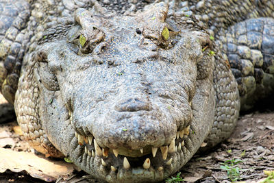 """Primer plano de un cocodrilo siamés, especie catalogada como """"En peligro crítico"""" (foto: Pablo Sinovas)."""
