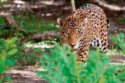 Un jaguar fotografiado en la península del Yucatán (México) observa de forma acechante (foto: Patryk Kosmider/ Shutterstock).