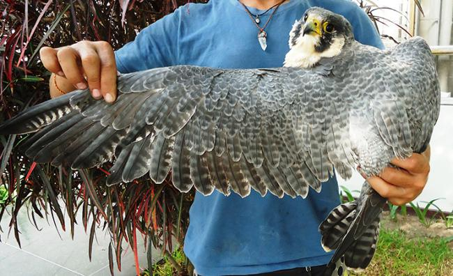 Hembra de halcón peregrino procedente de Canadá y rescatada en Lima (Perú) por el cetrero Álvaro García después de haber chocado con un rascacielos (foto: Óscar Beingolea).