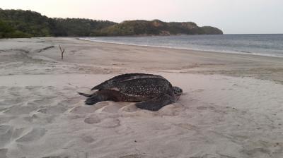 Una tortuga laúd regresa al mar después de desovar en Playa Cabuyal (Costa Rica). Foto: Karla Hernández.