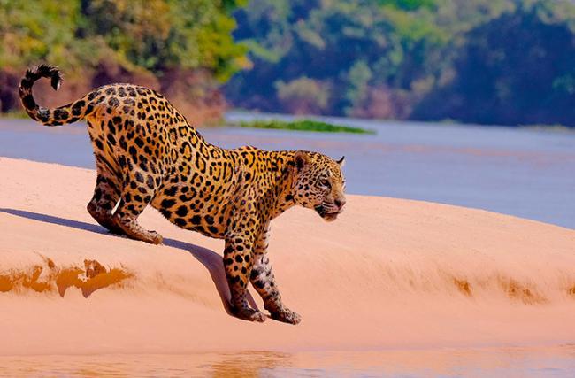 Un jaguar a orillas del río Cuibaba, en el Gran Pantanal de Brasil, se dispone a entrar en el agua (foto: reisegraf.ch / Shutterstock).